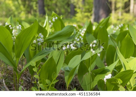 Blooming lilies of the valley in  sunny pine forest - stock photo