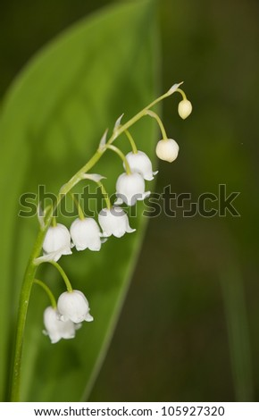blooming lily of the valley close up
