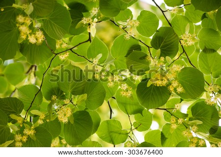 Blooming linden, lime tree in bloom - stock photo