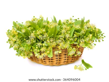 Blooming linden (Tilia) in the basket on white background - stock photo