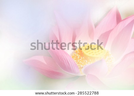 blooming lotus - stock photo