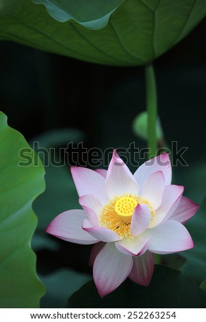 Blooming lotus flower hiding among lotus leaves - stock photo