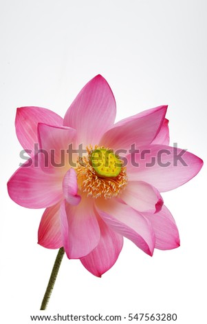 blooming lotus flower isolated on white background.