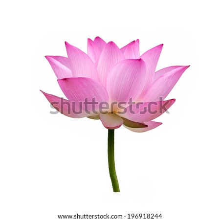 Blooming lotus flower on isolate white background. - stock photo