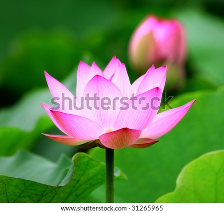 blooming lotus flower over dark background.See more lotus in my portfolio - stock photo