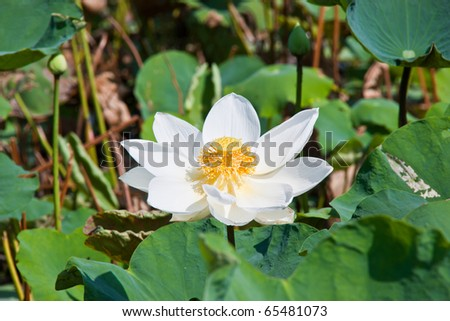 blooming lotus flower over green background
