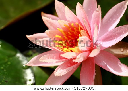 Blooming lotus in pink color after raining.