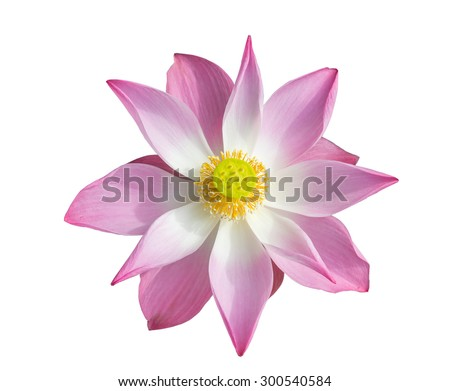 Blooming Lotus,Pink lotus on Isolated White  background, With Clipping Path - stock photo