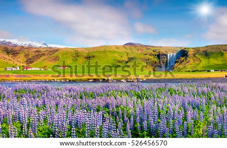 Blooming lupine flowers near amazing Skogafoss waterfall in south Iceland, Europe. Colorful summer landscape in the country. Artistic style post processed photo.