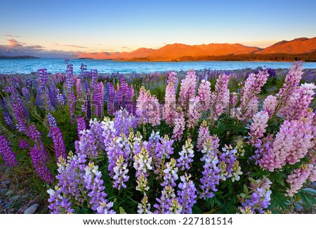blooming lupins at lake tekapo in early summer December that attract all international tourists - stock photo