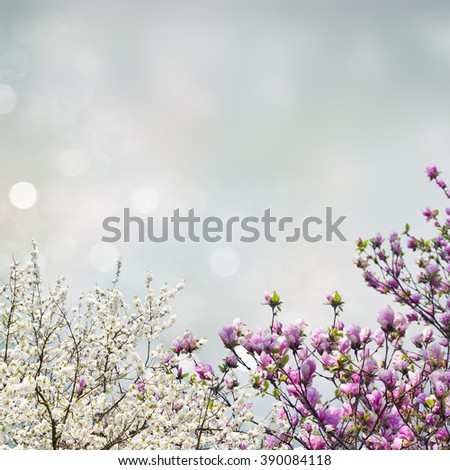 Blooming magnolia and apple tree with pink buds on blue sky background - stock photo