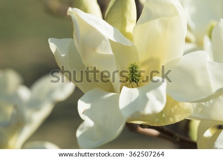 Blooming magnolia in  gardens, close up, toned, selective focus - stock photo