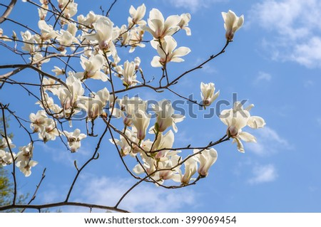 Blooming magnolia in spring time, branches with white flowers. - stock photo