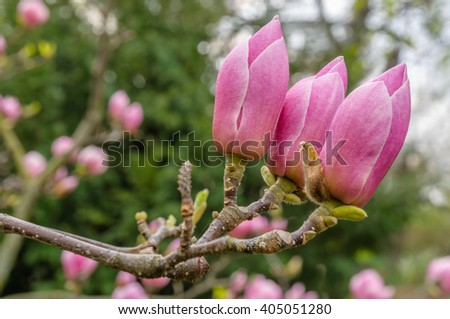Blooming magnolia in spring time, pink magnolia flowers buds. - stock photo