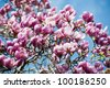 blooming magnolia tree in april - stock photo