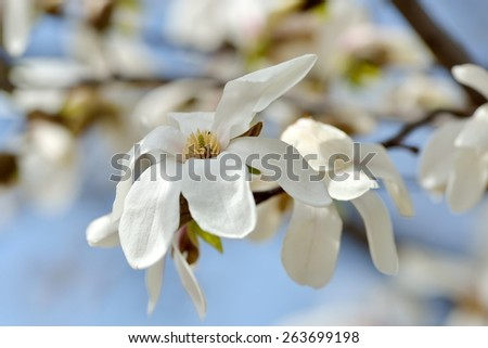blooming magnolia tree in spring garden - stock photo