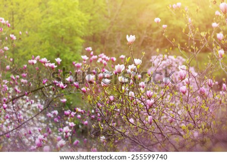Blooming magnolia tree in springtime in the park - stock photo