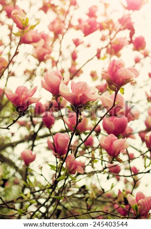 Blooming magnolia tree in springtime. Shallow depth of field, vintage toning  - stock photo