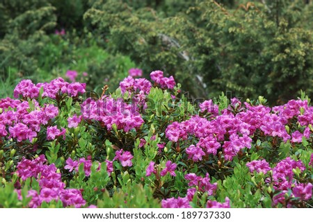 Blooming meadow with pink flowers of rhododendron bushes. Carpathians, Ukraine