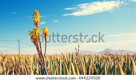 Blooming medicinal herb Aloe vera. Toned photo - stock photo