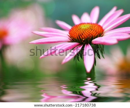 Blooming medicinal herb echinacea purpurea or coneflower and water reflection, selective focus in the center of flower - stock photo