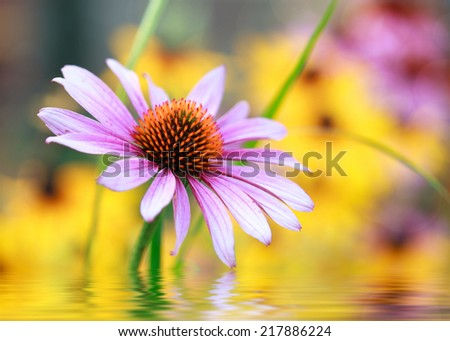 Blooming medicinal herb echinacea purpurea or coneflower, close-up. Photo improved by water with reflection - stock photo