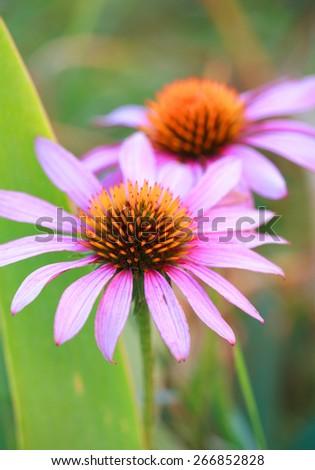 Blooming medicinal herb echinacea purpurea or coneflower, close-up, selective focus  - stock photo