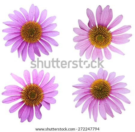Blooming medicinal herb echinacea purpurea or coneflower head isolated on white background - stock photo