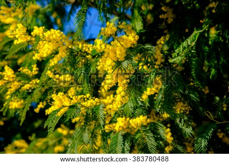 Blooming mimosa tree bunch over blue sky. Mimosa Spring Flowers Easter background. Shallow depth of field - stock photo