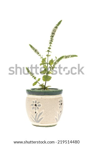 Blooming mint vase isolated on white - stock photo