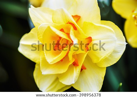 Blooming Narcissus in the garden close-up. shallow depth of field. Soft focus - stock photo