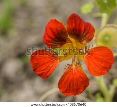 Blooming nasturtium flower  - stock photo