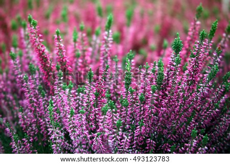 Blooming of beautiful heather flowers, natural seasonal floral background
