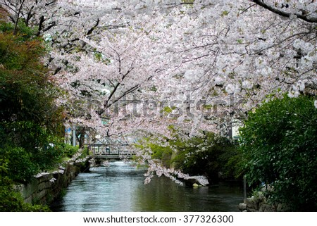 Blooming of Cherry blossoms flowers (Sakura) in Japan,The wide open landscape of Cherry blossoms tree (Sakura) in the Tokyo city,Japan.In Blooming of Cherry Blossoms (Sakura) for Japan travel season. - stock photo