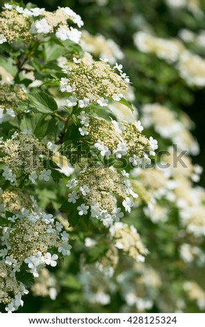 Blooming of guelder rose in spring garden. (Viburnum opulus). Selective focus. - stock photo