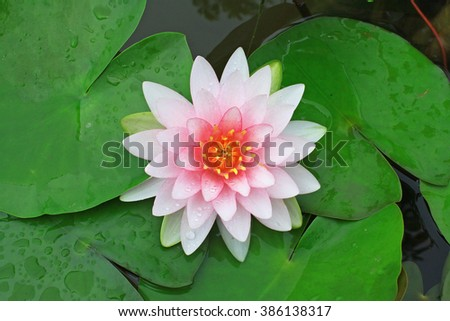Blooming of pink lotus flower in the pond