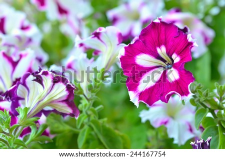 Blooming of purple petunia flowers outdoor, selective focus - stock photo