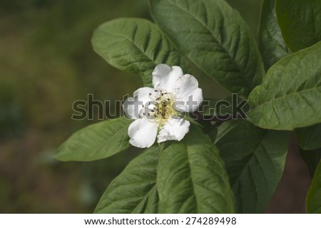 blooming of the medlar tree - stock photo