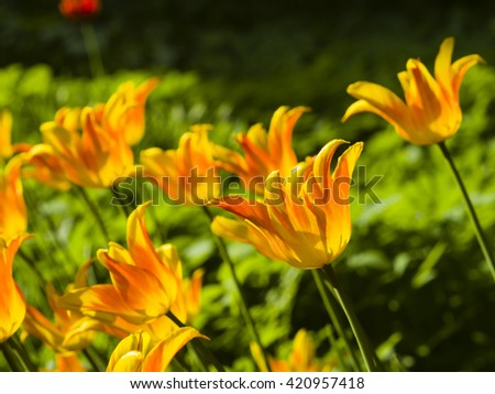 Blooming orange tulips backlighted afternoon with bokeh background, selective focus, shallow DOF - stock photo
