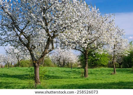 Blooming orchard with cherry trees in sunny spring day.