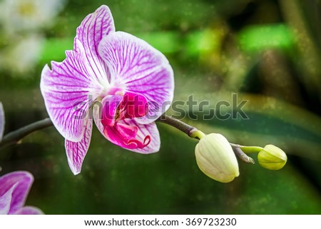 Blooming Orchid close-up in Utopia Orchid Park, Israel - stock photo