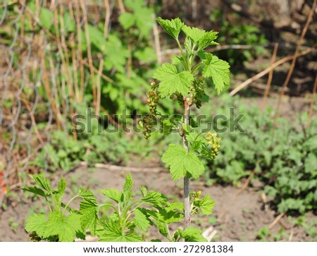 Blooming Organic Redcurrant  - stock photo