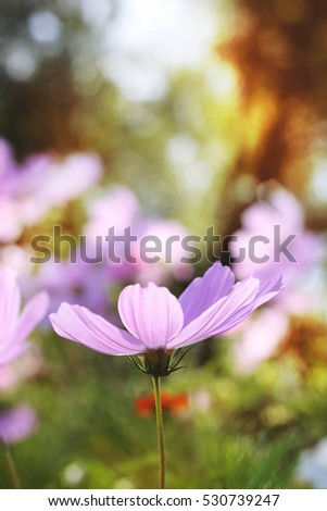 blooming pale purple beautiful flowers in garden on sunny summer day heading the hot sun
