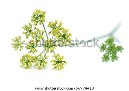 Blooming parsley, isolated on white