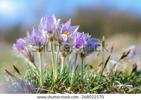 Blooming pasque wild flowers in spring season - stock photo