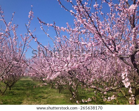 blooming peach trees in spring - stock photo