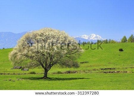 Blooming Pear Tree in Yatsugatake farm, Yamanashi, Japan - stock photo