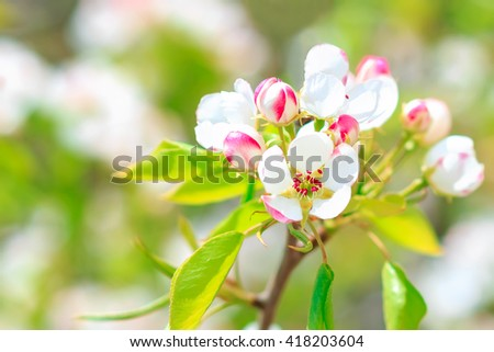 Blooming pear tree with flowers on branches closeup, blurry background - stock photo