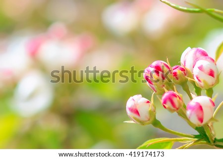 Blooming pear tree with flowers on branches closeup, blurry background, much free space