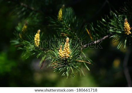 Blooming pine close-up.                     - stock photo